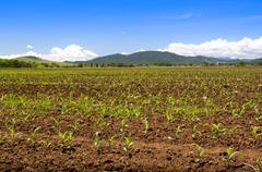 Sprouting Corn Crop Stock Photos