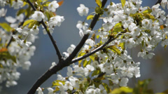 White flowers of blooming apple tree Stock Footage