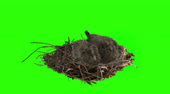 Two dove chicks stationary for a while in the nest on green screen Stock Footage