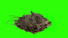 Two dove chicks stable in the nest on green screen. Stock Footage