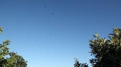Big birds above pao de acucar Stock Footage