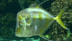 Gold & Silver Angelfish Stock Footage