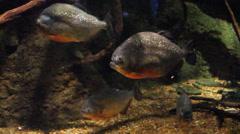 Piranhas in waiting! Stock Footage
