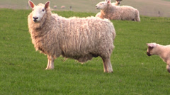 Scottish sheep and lambs Stock Footage