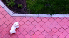west highland white terrier cute dog Stock Footage