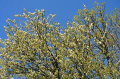 Stock Photo of treetops in the blue sky