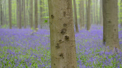 Bluebell flowers in a Beech forest Stock Footage