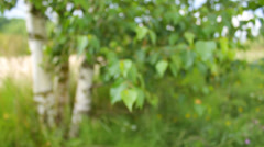 Camera gets closer to the leaves of Birch in summer, shallow focus, calm Stock Footage