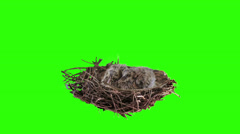 Two dove chicks moving in the nest on green screen. Stock Footage