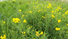 Camera moving away from the small yellow blossoms of wild flower Stock Footage