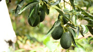 Stock Video Footage of Avocados at tree