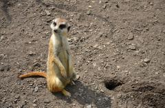 meerkat  suricatta wild animal in captivity  - stock photo