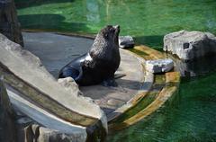 sea lions in captivity  - stock photo