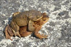 toad frog wild animal in reproduction  - stock photo