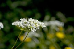 Cow parsley / Queen Anne's Lace flowers in the summer sun - stock photo