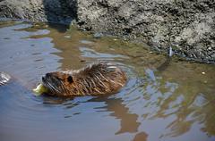 Nutria river wild animal  Stock Photos