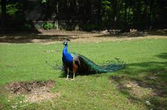 Peacock in captivity  Stock Photos