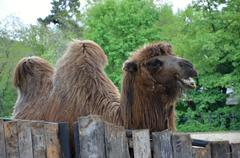 Camel animal in captive in ZOO Prague Stock Photos