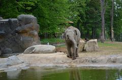 Elephant wild animal in captivity at a zoo Prague  - stock photo