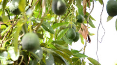Collecting avocados with pole Stock Footage