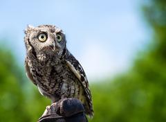 Eastern screech owl (megascops asio) - stock photo