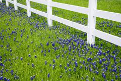 Texas bluebonnets blooming in spring Stock Photos