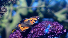 Wildlife Tortoiseshell Butterfly and Bee feeding on Buddlelia Plants Stock Footage