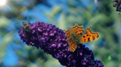 Wildlife Comma Butterfly feeding on Buddelia plants Stock Footage