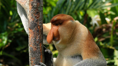 Male Proboscis Monkey rests on a tree in a mangrove forest in Borneo Stock Footage