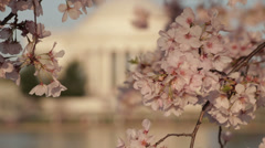 Dc cherry blossoms rack focus Stock Footage