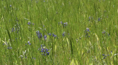 End of Season field of blooming Bluebonnets in Texas Stock Footage
