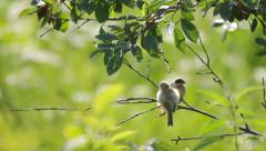 European penduline tit feeding young penduline tit on the tree branch in nature - stock footage