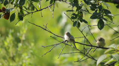 Young european penduline tits waiting for parents on the tree branch in nature Stock Footage