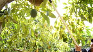 Stock Video Footage of Harvest avocados hass with pole