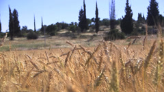 Wheat field m.s left treck Stock Footage
