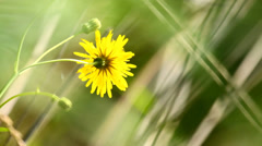 Yellow wild flower in the meadow in summer, static Stock Footage