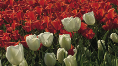 4K White Tulips on red tulip background loops Stock Footage