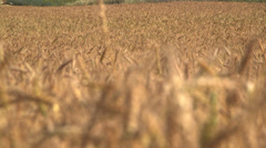 Wheat field change focus Stock Footage