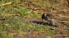 Tree sparrow feeding on the ground, searching for food, close-up Stock Footage