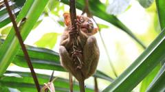 Philippine tarsier in island Bohol, Philippines Stock Footage