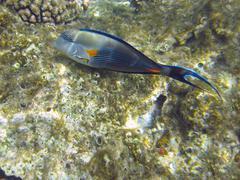 shohal surgeon fish (acanthurus sohal) - stock photo