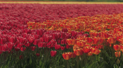 Mix of orange and red tulip fields Stock Footage