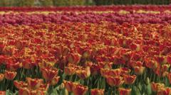 4K Tulips loops Stock Footage