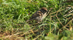 Tree sparrow on the ground, grass, nature, close-up Stock Footage