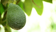 Stock Video Footage of Avocado hanging at tree