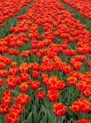 Field of fiery red and orange colored tulips - stock photo