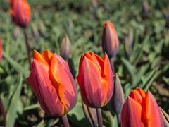 Orange and reddish colored tulips Stock Photos
