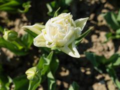 Close-up of white tulip Stock Photos