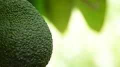 Avocado hanging at tree close up Stock Footage