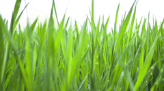 Wheat young green leafs ,agricultural spring field Stock Footage